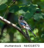 eurasian jay perched on a... | Shutterstock . vector #464318573