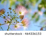 Small photo of fluffy pink flowers Albizia julibrissin / Albizia julibrissin