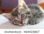 Stock photo brown tabby kitten 464423867