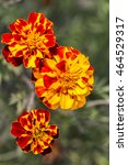 Small photo of Marigolds ( Tagetes erecta, Mexican marigold, Aztec marigold, African marigold ) flowers closeup
