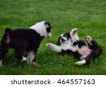 Stock photo puppies playing in the grass 464557163