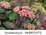 Blooming Cultivar Orpine ...