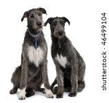 Two Irish Wolfhounds Sitting I...