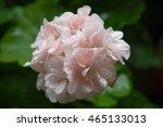 Pink Geranium With Raindrops