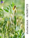 Small photo of Oats seed (lat. Avena sativa) is a genus of annual herbaceous plants of the family Gramineae or Grasses (Poaceae). Dragonfly on oats