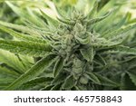 crystallized cannabis marijuana ... | Shutterstock . vector #465758843