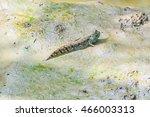 Mudskipper   Amphibious Fish