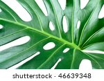 leaf of tropical evergreen... | Shutterstock . vector #46639348