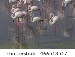 greater flamingos in ras al... | Shutterstock . vector #466513517