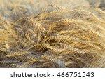 harvest bread in spikelets of... | Shutterstock . vector #466751543