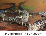 Small photo of baby alligators