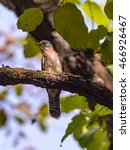 Small photo of Shikra bird (Accipiter badius)perching on tree in a forest.