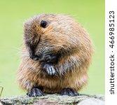 myocastor coypus  single mammal ... | Shutterstock . vector #466985123