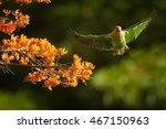Small photo of Close-up Orange-winged Parrot, Amazona amazonica, green parrot flying next to bright orange flowers of Immortelle tree, Erythrina poeppigiana. Tobago island, Trinidad and Tobago.