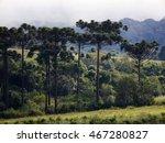 Araucaria Tree  Araucaria...