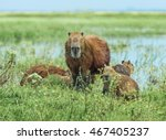 Family Of The Capybara In The...