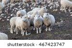 Three Corriedale Sheep Looking...