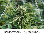 female cannabis plant budding | Shutterstock . vector #467503823