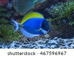 Small photo of macro close up of powder blue tang fish, acanthurus leucosternon