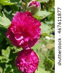 Small photo of Althaea; rosea