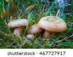 Lactarius Deterrimus. Edible...