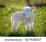 a very young  small lamb  white ...