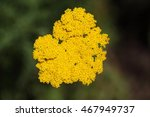 Small photo of Macro photo of fernleaf yarrow flowers (Achillea filipendulina)