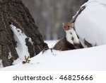 Marten beech /Martes foina/ - stock photo