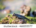 Mudskipper Perching On Rock...