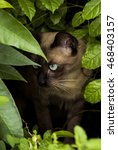 Small photo of The Siamese Cat Clubs Seal brown and With blue eyes ambush In Bush