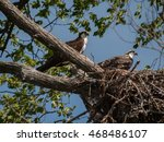 Mother Osprey With Chick