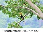 Hornbil   Great Hornbill