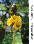 "Small photo of Yellow ""African Senna"" flower (or Popcorn Senna, Candelabra Tree, Peanut Butter Cassia) in St. Gallen, Switzerland. Senna Didymobotrya (Syn Cassia Didymobotrya) is native to tropical Africa."