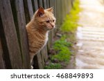 Stock photo red cat looks out from behind a fence summer sun photo pet beautiful red cat with yellow eyes 468849893