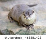 Small photo of Small-clawed otter lying on stone. Latin name Amblonyx cinerea.