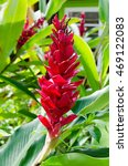 Small photo of Red Ginger Lily (Alpinia purpurata)