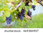 blue grapes in the vineyard | Shutterstock . vector #469384907