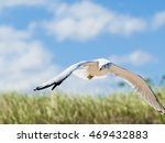 Small photo of American Herring Gull over Meadow