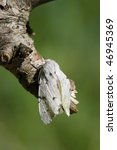 Small photo of Newly hatched Miller (Acronicta leporina) sitting on a branch. The wings aren't stiffen yet.