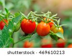 Cherry Tomatoes Growing On The...