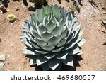 Small photo of Agave Palmeri Plant, California