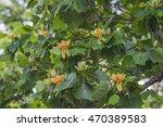 Tulip Tree  Liriodendron...