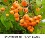 Ripening Rowan Berries Grow In...