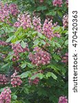 Small photo of Red horse-chestnut (Aesculus x carnea). Artificial hybrid between Aesculua pavia and Aesculus hippocastanum