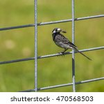pied wagtail with insect in it... | Shutterstock . vector #470568503