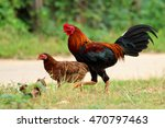 Image Of Rooster And Hen In...