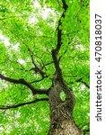 green sapium sebiferum tree... | Shutterstock . vector #470818037