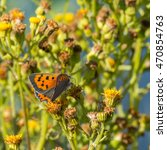 Small photo of Small Copper, American Copper, Common Copper, Lycaena phlaeas