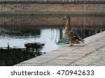 Duck Stands On The Shore Near...