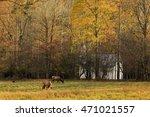 Elk In A Field In Cataloochee